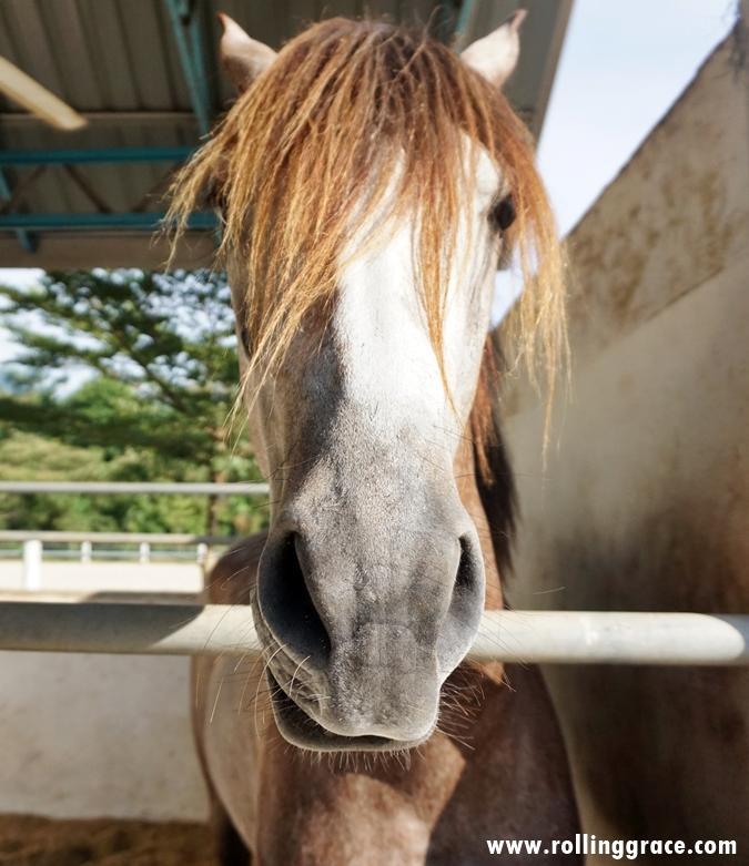 Ultimate horse Training and stud farm, Yan, Kedah, Malaysia
