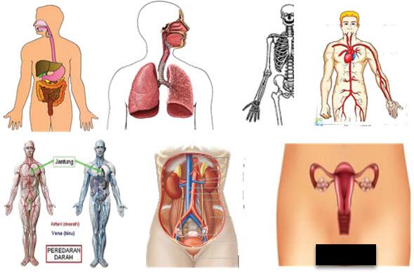 Sistem Organ