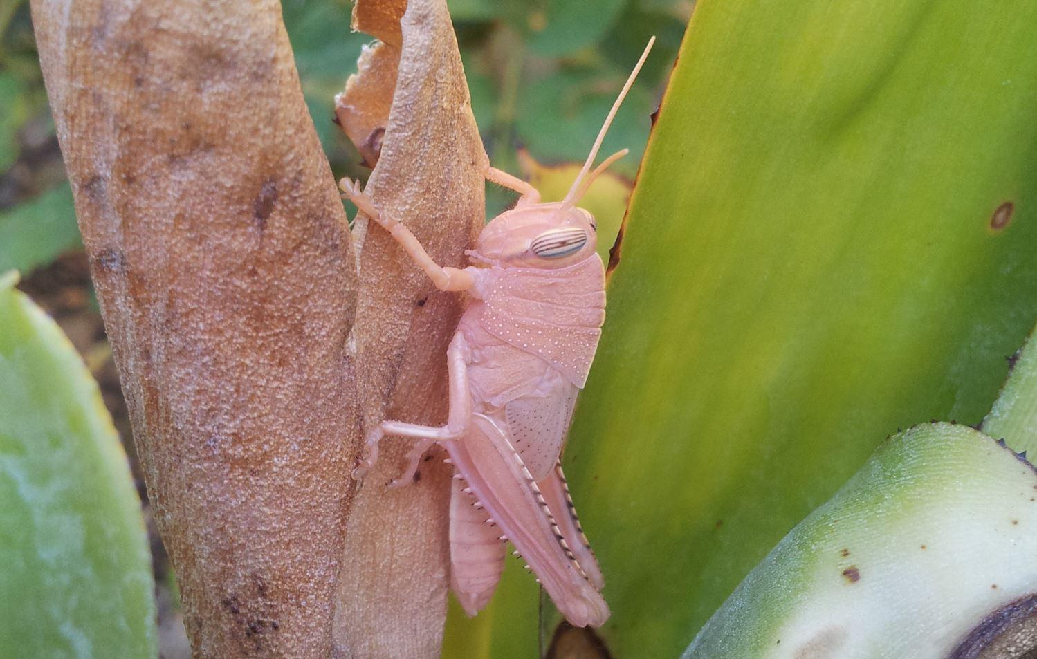 Locust Suomeksi