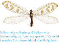 http://sciencythoughts.blogspot.co.uk/2017/11/spilosmylus-spilopteryx-spilosmylus.html
