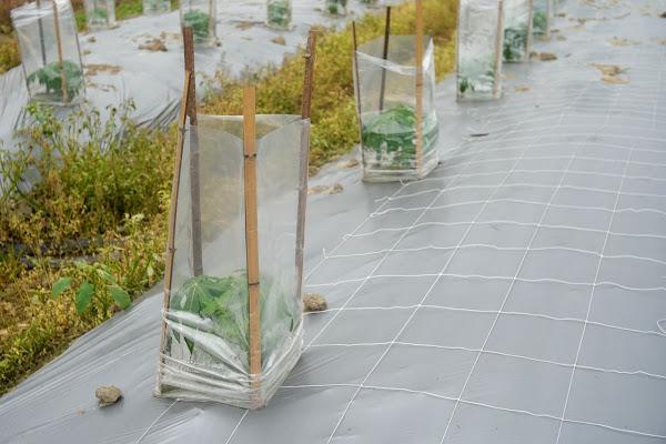 冷氣團來襲 臺中區農改場籲請農友做好農作物防寒措施
