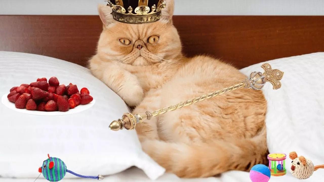 Gato persa siendo el rey de la casa