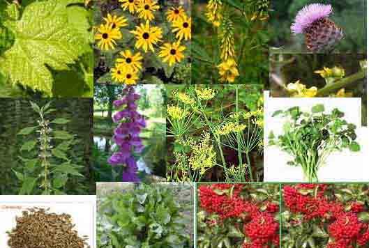 Plantes qui gu rissent et nourrissent rem de naturel par les plantes - Plantes qui ne craignent pas le gel ...