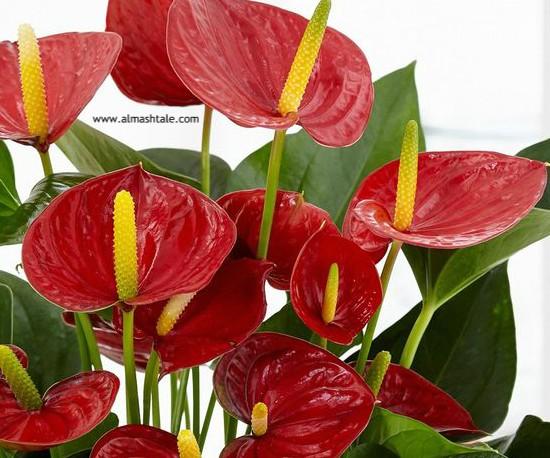 زهور الأنثوريوم