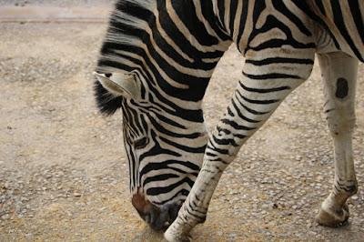 Zebra at Paradise Wildlife Park