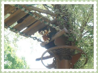 Asahiyama Zoo Red Panda
