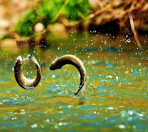 Cá Nhảy