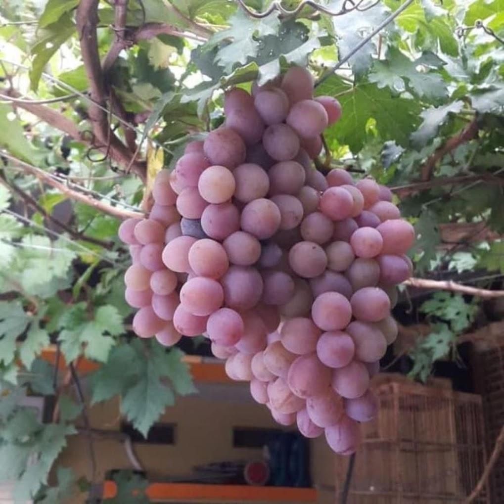 bibit anggur import ninel berkualitas Sumatra Barat