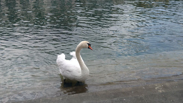 a swan keeps me company at the edge of the lake