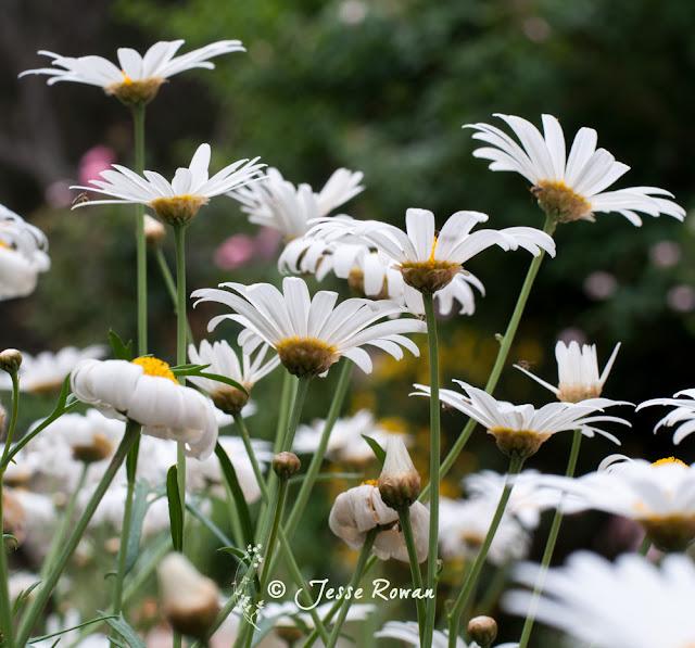 Daisies by Jesse Rowan