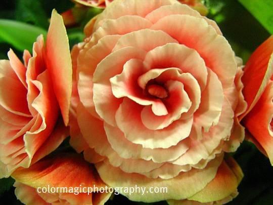 Peach-pink begonia