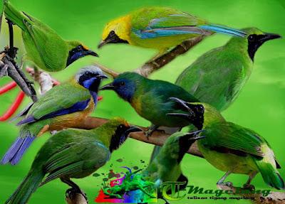 Suara Kicau Burung Cucak Ijo Gacor Terbaru