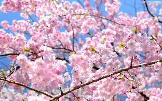Gambar Bunga Sakura Paling cantik di Jepang 9000
