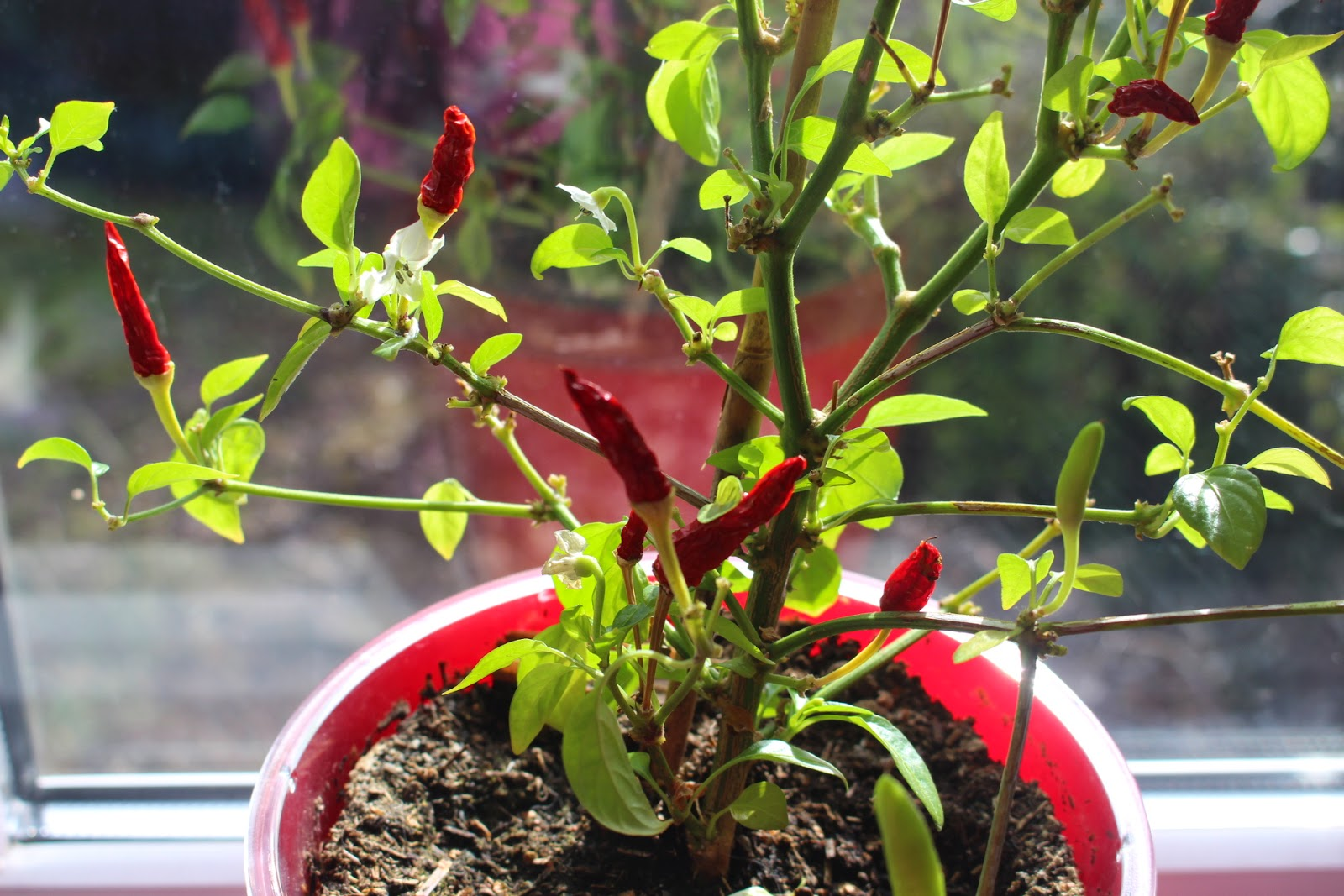 how to take chilli cuttings