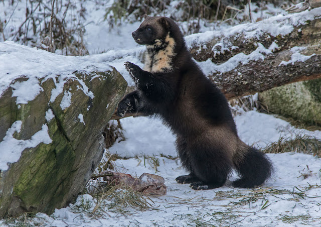 Making a living in the world: A watchful wolverine must work hard
