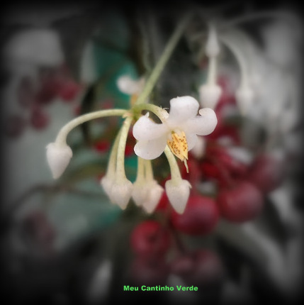Flor ardisia