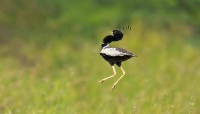 Madhya Pradesh for Lesser Florican or Kharmore, Sypheotides, The shy bird, mid-air courtship gestures, State wildlife Board, Madhya Pradesh, Wildlife Boards,