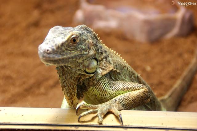 Iguana del rettilario del parco