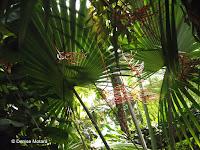 Mascarena, a jungle plant - Kyoto Botanical Gardens Conservatory, Japan