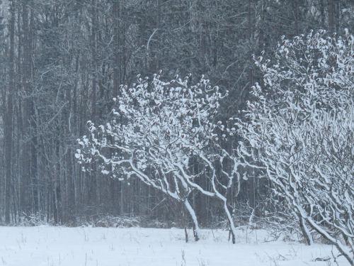 snow on sumacs