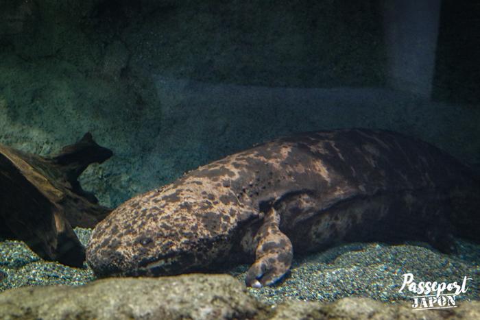 Salamandre, aquarium Umi Tamago, Oita