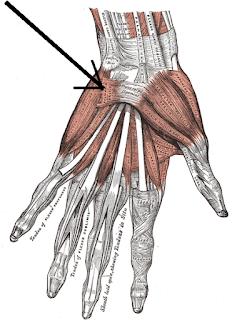 palmaris longus muscles- by www.learningwayeasy.com