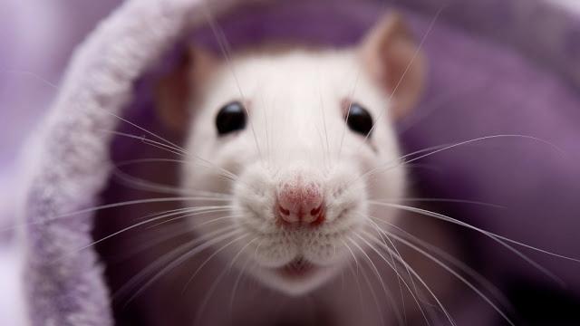 От чего в доме нужно избавиться до Нового 2020 года, чтобы не злить Крысу и приманить удачу