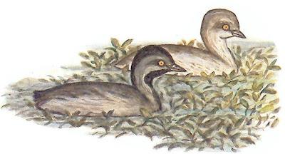Macá gris Tachybpatus dominicus