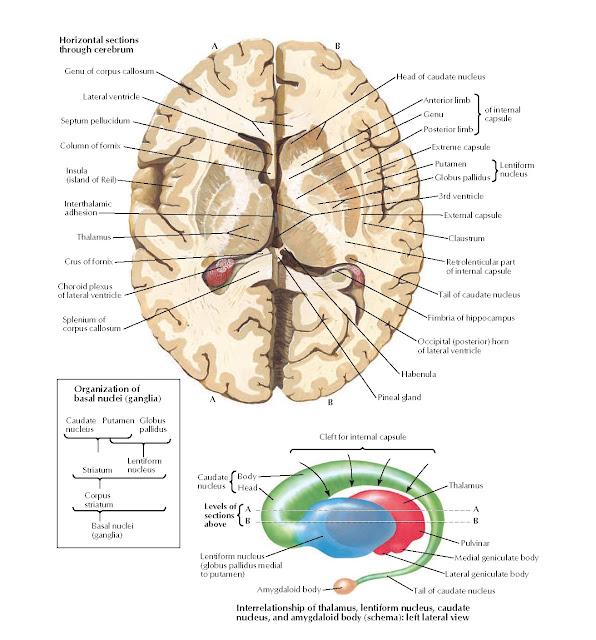 Basal Nuclei (Ganglia) Anatomy