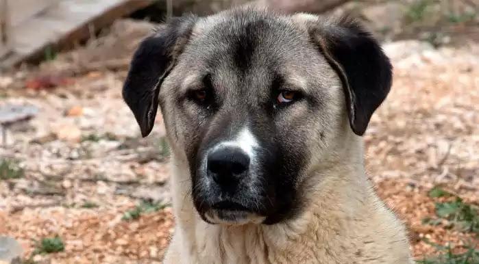 Anatolian Shepherd Dog Dog Breed