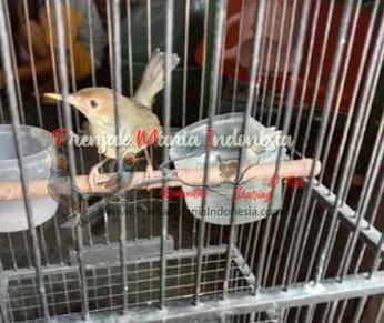 Cara Menjinakan Burung Prenjak