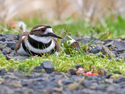 Photo of Killdeer sitting on eggs on gravel road