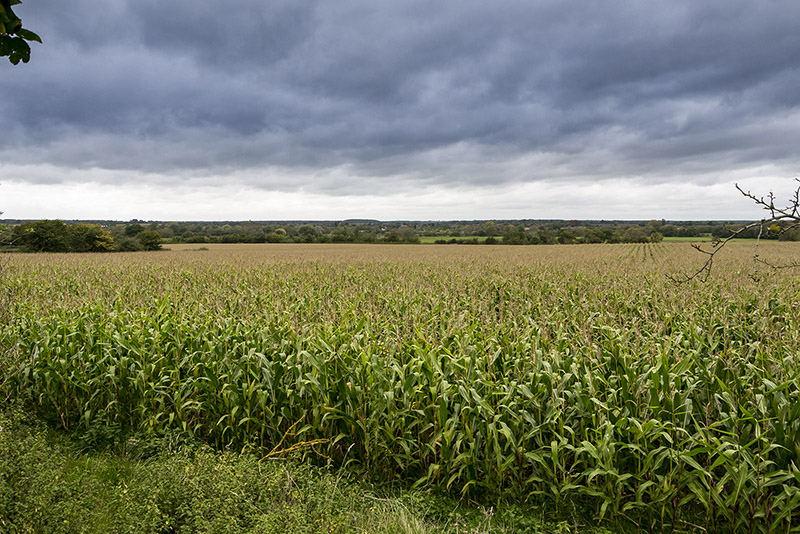 Fields of Maize