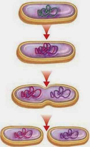 دورة الخلية وانقسامها ppt