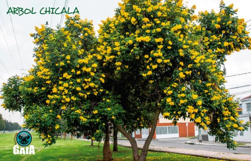Árbol de Chicalá