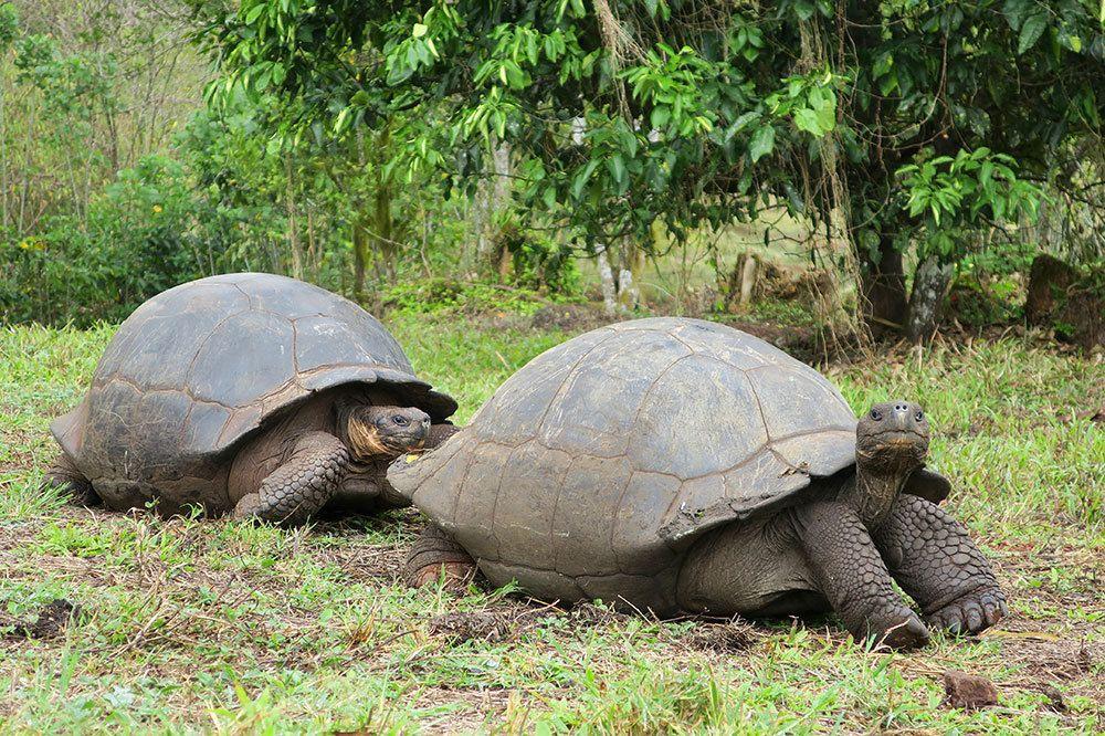 Черепахи на Ранчо Примисиас, Галапагосские острова
