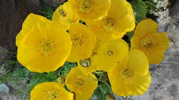 siperianunikko keltaiset kukat