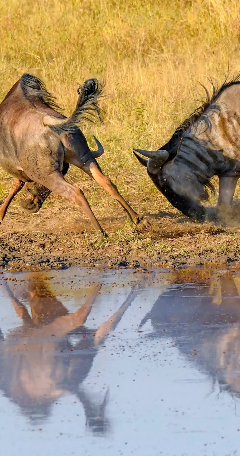 Male wildebeest fighting.