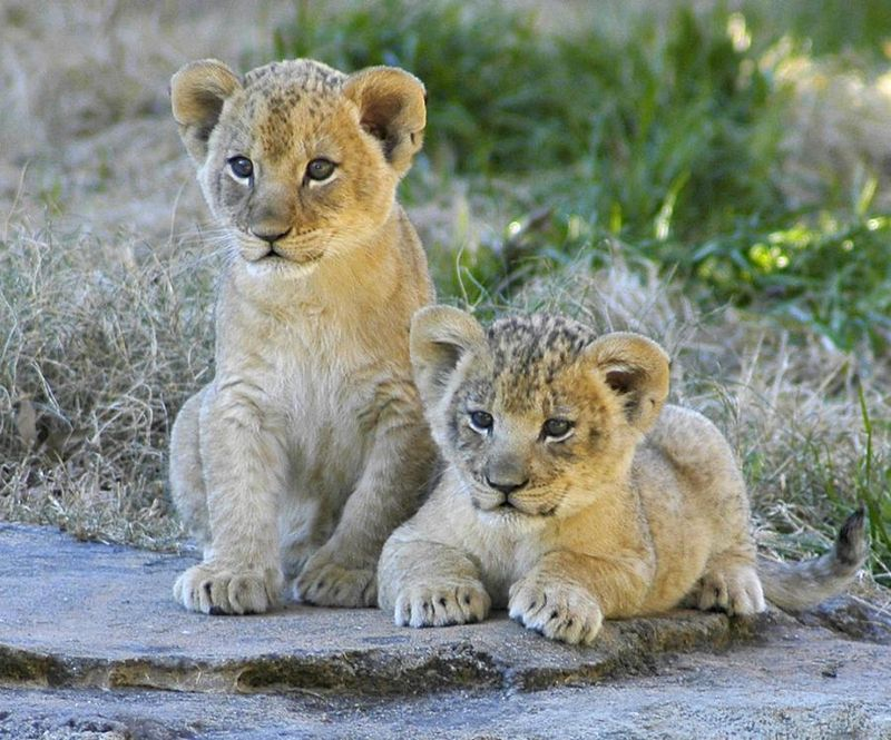 Cute Lion Cubs Hd Wallpapers Cute Lion Cubs My Hd Animals