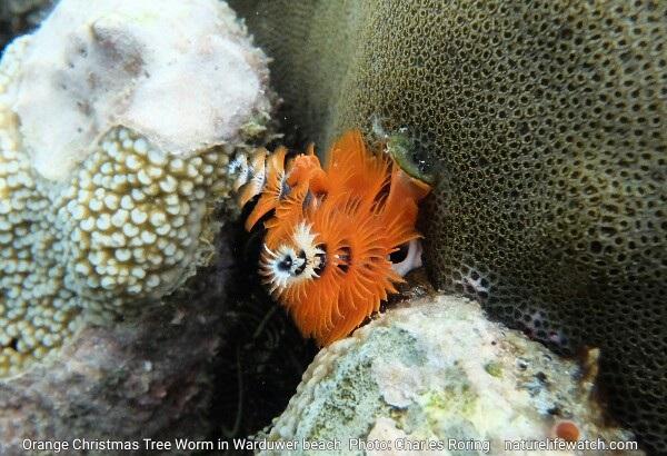 Spirobranchus giganteus sea worm in Raja Ampat