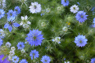 https://www.123rf.com/photo_68612777_nigella-sativa-nature-blue-and-white-flowers-differential-focus-.html