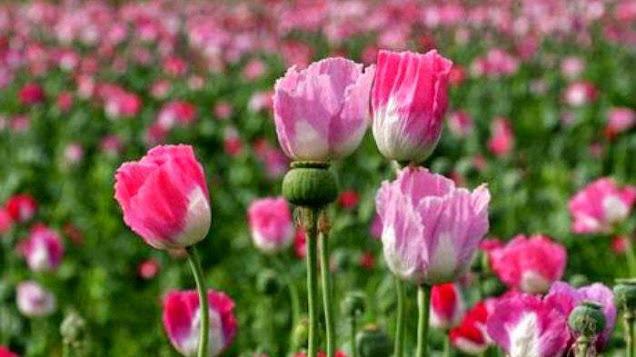 Tanaman Opium, ibu dari beberapa Narkotika