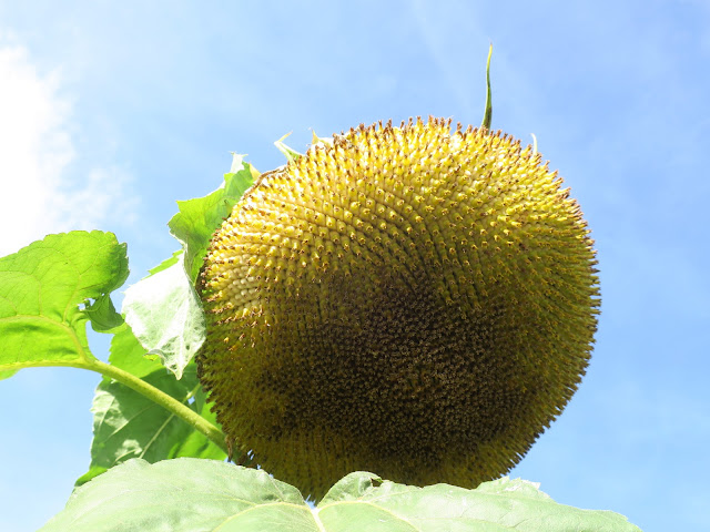 OVER-LARGE SUNFLOWER. 8TH OCTOBER 2021