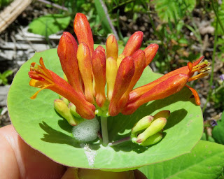 Orange Honeysuckle, Lonicera ciliosa