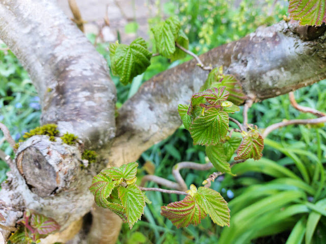 Green twisted hazel leaves growing on new twisted stems