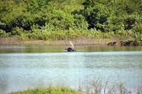 Wasserbüffel mit Ibis - water buffalo with ibis