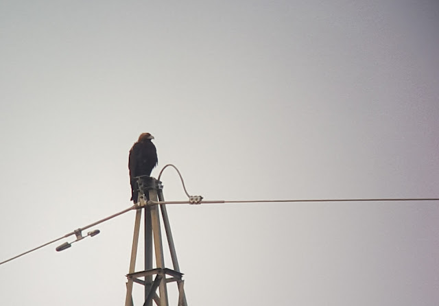 Águila imperial en sierra de Andújar