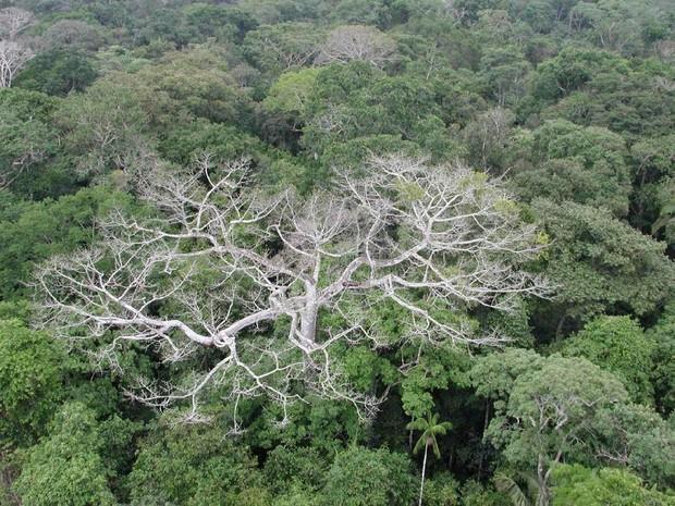 Efeitos Climáticos Mata 17% a Mais de Árvores na Amazônia