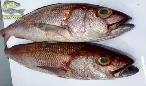 أفضل أنواع سمك البحر الأحمر _ سمك الفارس