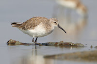Curlew Sandpiper, non-breeding plumage – Pak Thale, Petchaburi, Thailand – Jan. 2013 – photo by J.J. Harrison